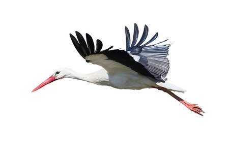 White Stork isolated on white background ( Ciconia ciconia )