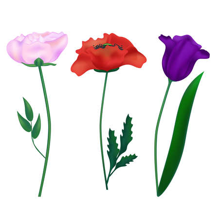primula: Set of three colors painted in a realistic style can be used as decorative elements. Vector illustration