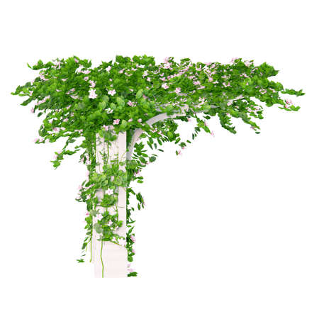 ivy: Side view of the wooden pergola with roses and leaves kind of ivy plant