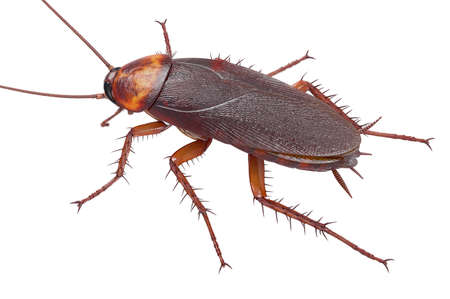 Cockroach bug american brown pest. 3D rendering