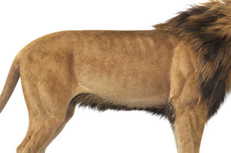 Lion african strong massive beast, close view. 3D rendering