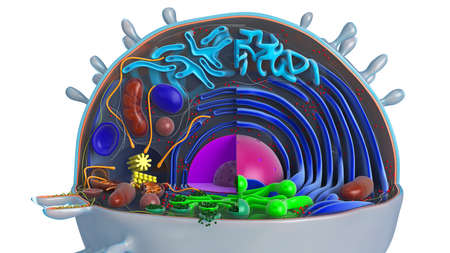 Animal cell in section, multi-colored, close view. 3D rendering