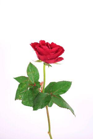 pflanze: Rose stehend auf weissem Grund Stock Photo