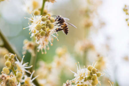 working bee collects flower nectar from longan flower 版權商用圖片