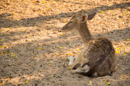missouri wildlife: Deer couch relaxing afternoon