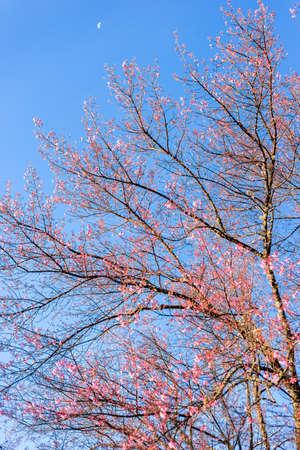 Himalayan cherry blossom, outdoor pink Sukura or Himaayan Cherry Blossom blooming Stock fotó