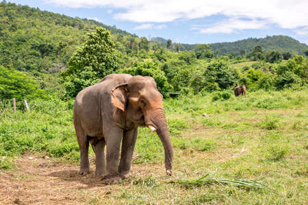 asian elephant in elephant camp,chiangmai thailand
