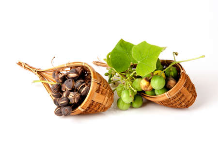 potentially: Black Soap, Physic nut, Purging nut, Barbados nut, Kuikui pake, Pignon dinde (Jatropha curcas L.), potentially leading to extraction and production of biodiesel. Stock Photo