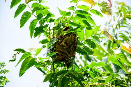 nesting: Ant nests on tree , Red Ants nesting