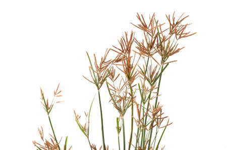Nut grass, Purple nutsedge, Nutsedge (Cyperus rotundus Linn.).Weeds have medicinal properties. Stock Photo
