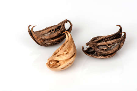 Tigers Claw, Devils Claw (Martynia annua L.), seeds. Stock Photo