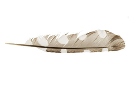broaching: a feather on white backround Stock Photo