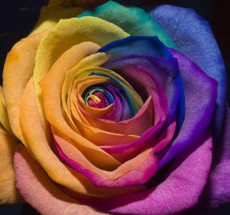 A unique and very special rainbow rose, isolated in black  photo