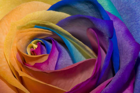 A unique and very special rainbow rose  photo