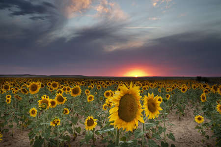 Sunset in sunflowers field Palencia Spain  photo
