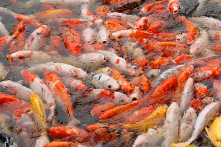 a lot of carp fish in pond photo