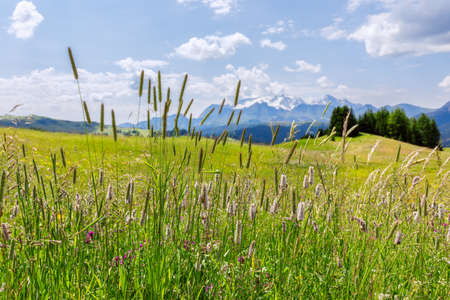 Beautiful alpine meadow with herbs and Italian Dolomites in the background.  Italian Alps, Corvara in Badia.