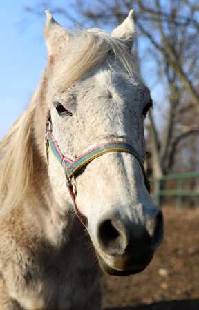 a portrait of a white horse with a beautiful fringe 版權商用圖片