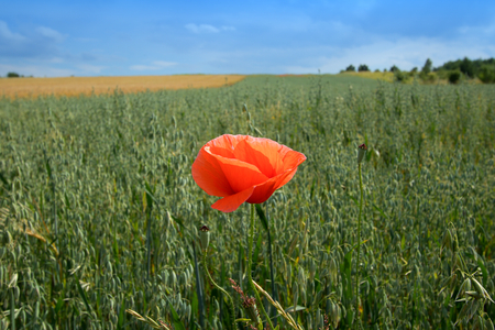 single poppy on the field with green grasses