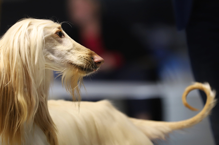 Portrait of a beautiful thoroughbred dog, afghan hound