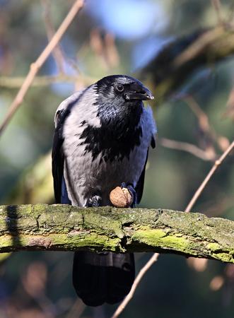 Crow with peanut on the branch Standard-Bild
