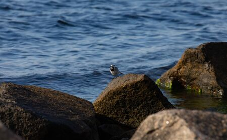 rocks in water, bird White Wagtail (Motacilla alba), Bornholm