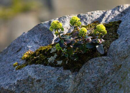 wild flowers on a rock, Bornholm