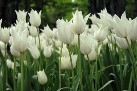 White Tulips. Flowerbed of white tulips in city park.