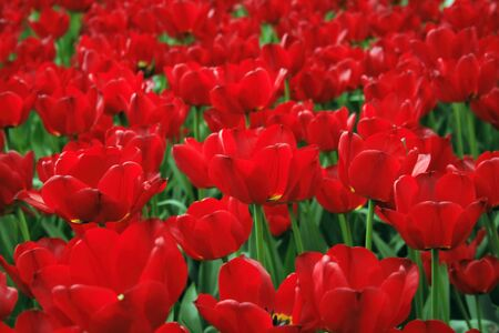 Red tulips. Urban flower bed in close up view. Imagens - 128891020