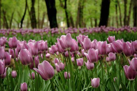 Pink / Light Purple Tulips. Flowerbed of pink tulips in city park. Imagens - 128891142