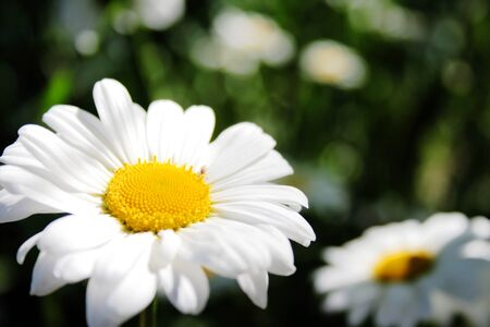 Sun Flowers. Two chamomile flowers on blur background.