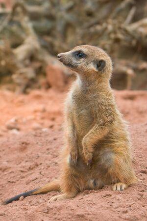 suricate: Suricate, or Meerkat (Suricata suricata)