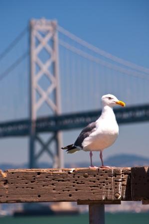 seagull at bay bridge Stock Photo