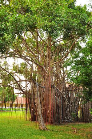big old banyan tree in park