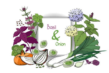 Vegetable vector sketch. A set of onion and basil. Fresh onions, chives, allium, basil and leeks. Whole and cut into slices. Green tops, yellow and blue flowers and black seeds isolated on white.