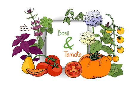 Vector set of basil plant and tomatoes. Green and purple cinnamon and Italian basil with leaves and flowers. Red and orange tomatoes. Hand-drown sketch of spicy herbs and tomato on white background. Çizim