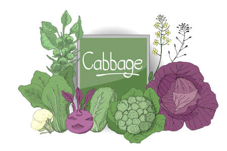 Vector set with fresh purple cabbage, cauliflower, chinese cabbage, kohlrabi (turnip-rooted cabbage), nappa cabbage, yellow flowers. Isolated elements on white background. Summer, autumn harvest.