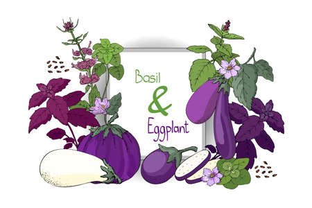 Vector vegetable set. Green and purple basil and white and purple eggplants with stems, leaves, flowers. Çizim