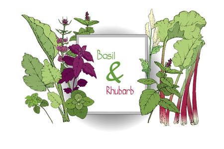 Vector set of basil plant and rhubarb. Green and purple cinnamon and Italian basil with leaves and flowers. Fresh pieplant with green leaves, green and red stems, white and pale yellow flowers.