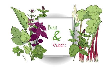 Vektorset aus Basilikum und Rhabarber. Grüner und lila Zimt und italienisches Basilikum mit Blättern und Blüten. Frische pieplant mit grünen Blättern, grünen und roten Stielen, weißen und hellgelben Blüten.