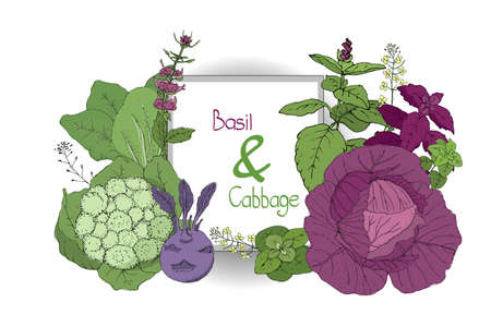 Vector set with basil and cabbage. Green and purple cinnamon basil, Italian basil with leaves and flowers. Red cabbage, cauliflower, chinese cabbage, kohlrabi (turnip-rooted cabbage), nappa. Illustration