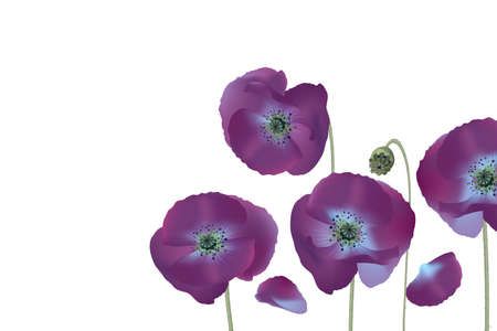 Vector poppy flower. Realistic botanical illustration. Neon purple night poppies isolated on white background. Not traced, conveniently grouped for easy editing.