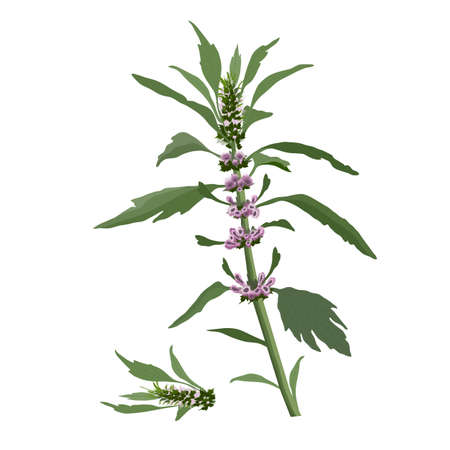 Vector botanical illustration. Leonurus cardiaca plant isolated on white background. Mother wort with pink flowers, green stem and leaves. Medicinal herb.