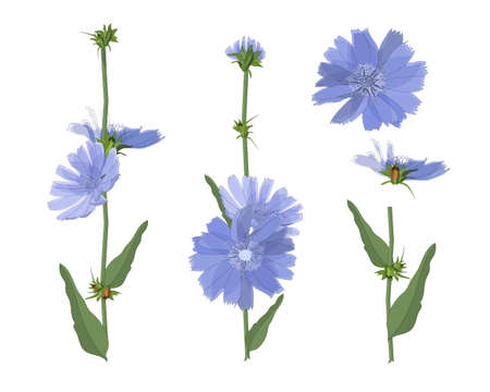 Blue chicory flowers with stem and leaves. Floral elements isolated on white background. Succory in watercolor style.