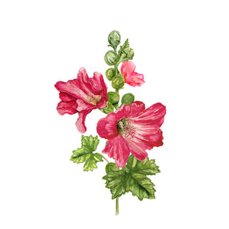 Watercolor mallow flower. Burgundy garden flowers with buds, green stem and leaves. Hand drawn illustration. Zdjęcie Seryjne