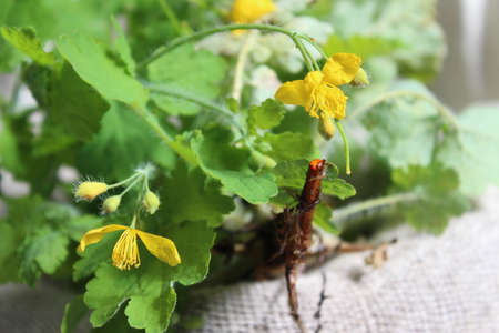 Yellow flower of celandine. Medicinal plant, the herb Chelidonia with green leaves, yellow flowers, red juice from a broken root. Grows in the forest and garden.