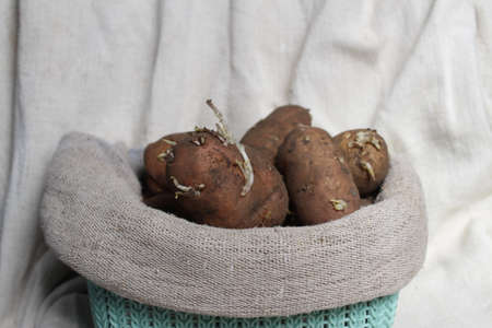 Seed potatoes with sprouts for planting. The tubers of potatoes in burlap. Zdjęcie Seryjne