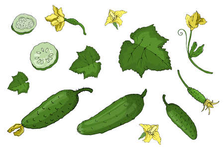 Vector set with green fresh cucumber. Isolated cucumbers with flowers, whole and sliced. Summer harvest. For template, cards, menu, cosmetic, dietary and medical brochures.