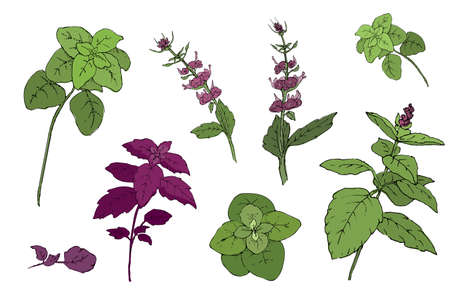 Vector set of basil plant. Green and purple cinnamon basil and Italian basil with leaves and flowers. Hand-drown sketch from isolated elements of spicy herbs on white background.