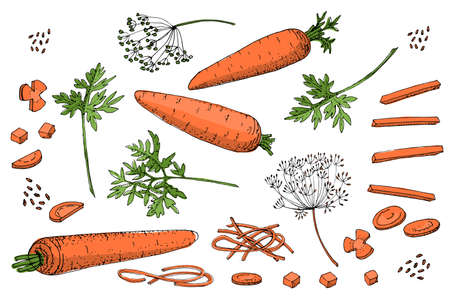 Vegetable vector sketch. A set of carrots of different types. Isolated carrots, diced, cubes, roundels, straws and noodles. Orange roots, green carrot tops and seeds. Ilustracja